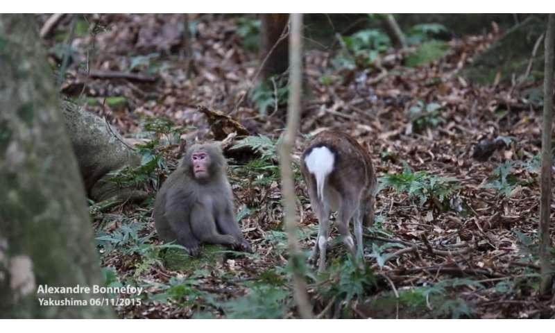Oh deer: monkey caught in flagrante delict-doe