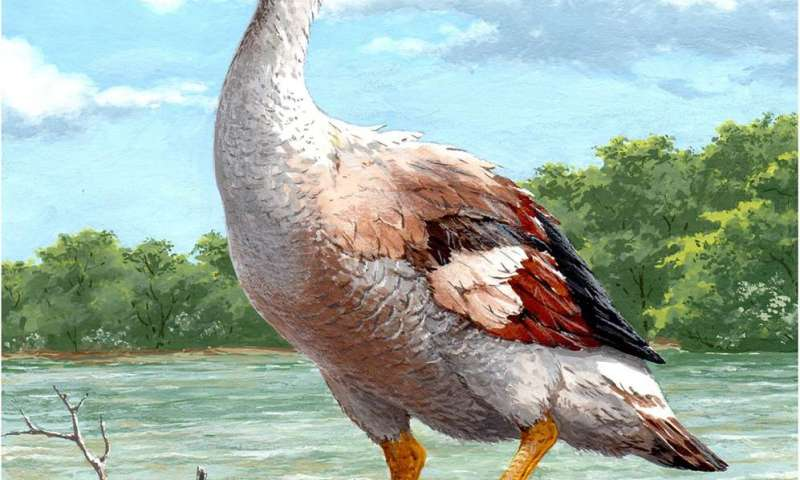 Fossils from ancient extinct giant flightless goose suggests it was a fighter