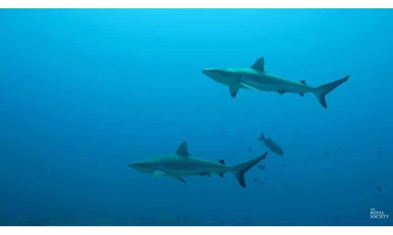 Video: Tracking data and shark behaviour