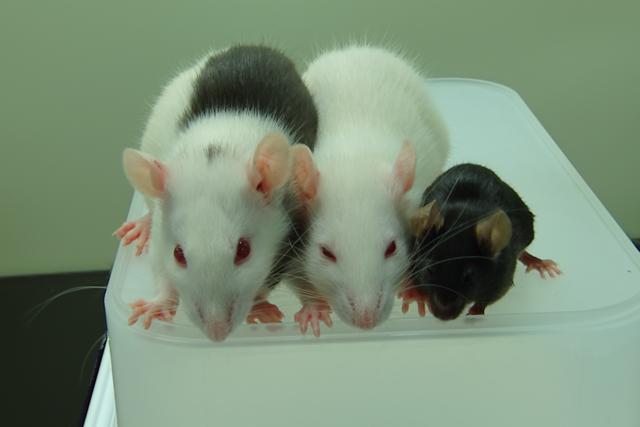 Rat-grown mouse pancreases help reverse diabetes in mice