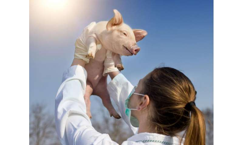 Fully-grown pig chimeras are only a few years away – we need to understand where they stand now