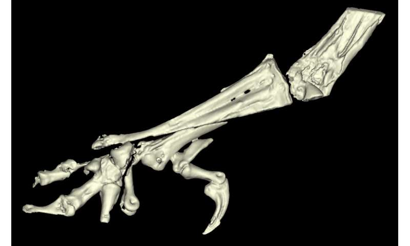 Ancient fossil reveals the evolution of bird legs for the first time