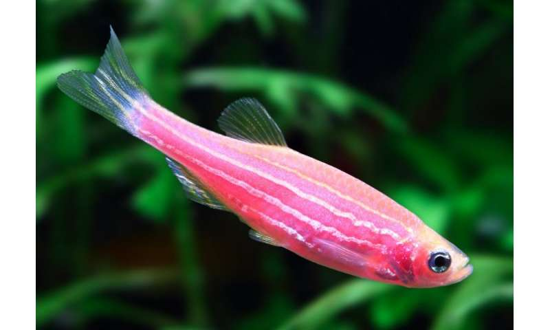 Deadly amphibian plague can infect young zebrafish, scientists discover