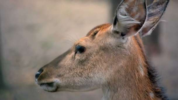 Research reveals globe-trotting history of sika deer
