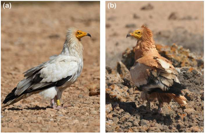 Egyptian vultures found to engage in puzzling cosmetic mud bathing rituals