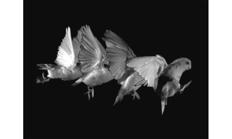 Study of parrotlets hopping offers clues on how dinosaurs might have developed flight