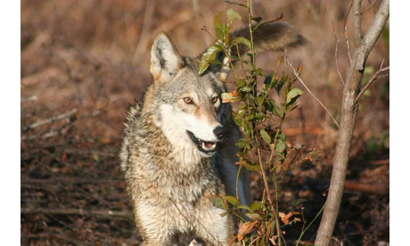 Study doesn't support theory red and eastern wolves are recent hybrids, researchers argue
