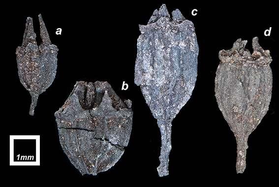 Australian origin likely for iconic New Zealand tree
