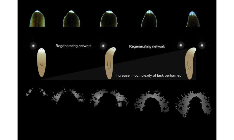 Visual processing capabilities of flatworm found to be more complex than thought