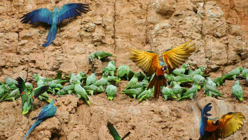 New paper explores why Peru's parrots eat clay