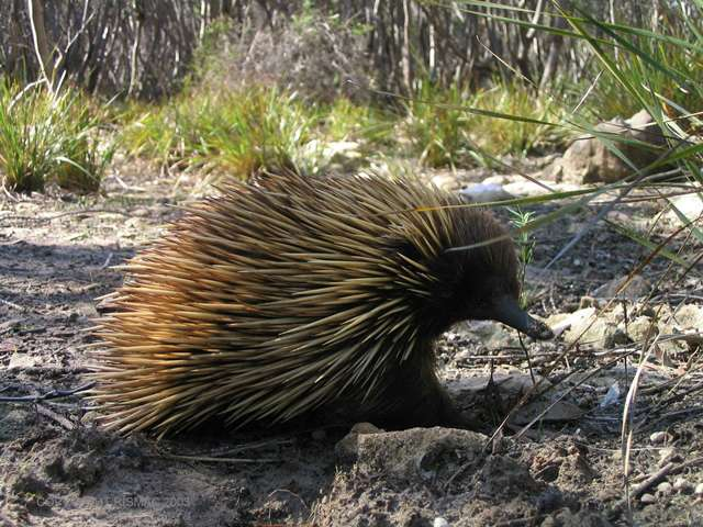 Citizen Scientists wanted to solve echidna mysteries