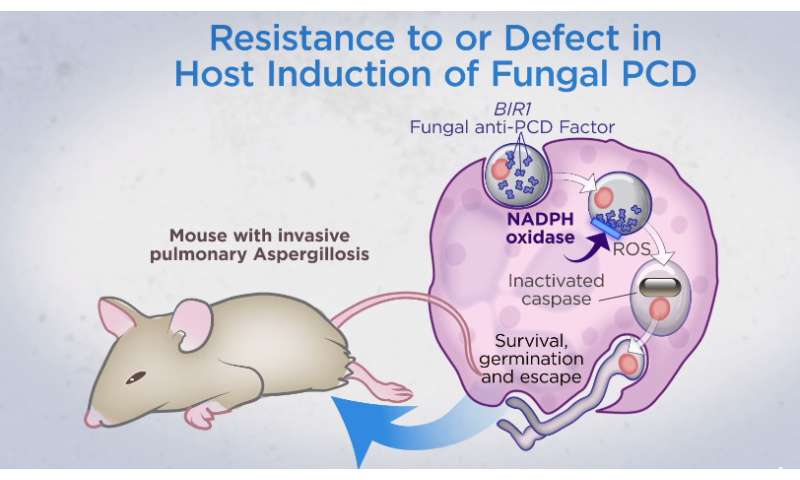 Mice found able to ward off fungal lung infections by causing fungus to kill itself