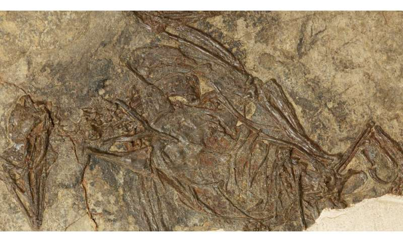 Fossil find pushes back date of earliest fused bones in birds by 40 million years