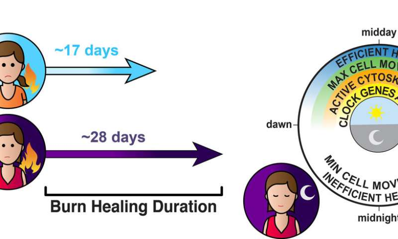 Our body clocks cause wounds sustained at night to heal more slowly