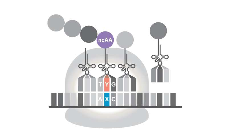 Expanding DNA's alphabet lets cells produce novel proteins