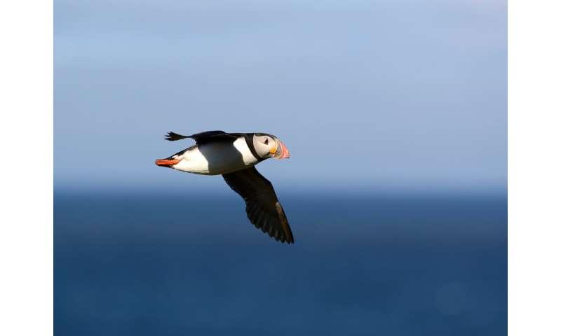 Migration makes breeding harder for seabirds