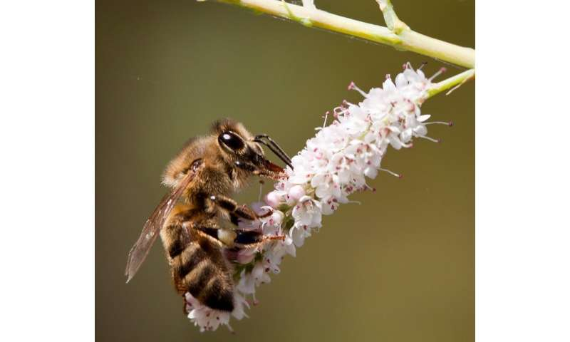 Scientists discover gut bacteria in bees spread antibiotic