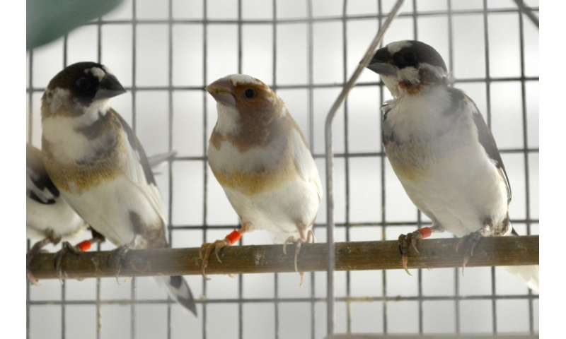 Study reveals how the songbird changes its tune