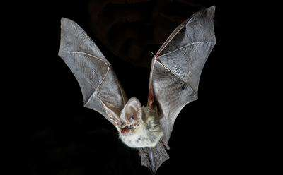 Climate change could put rare bat species at greater risk