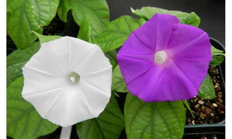 Scientists use CRISPR technology to change flower colour