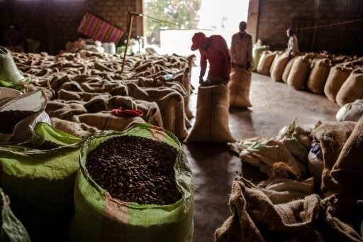 Scientists warn that if global warming continues unabated, up to 60 percent of land currently used to grow coffee beans in Ethio