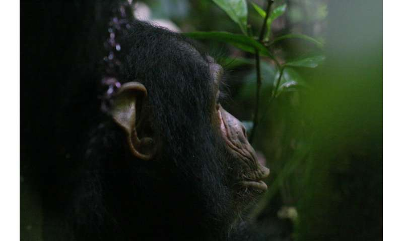 Researchers show that vocalizing in chimpanzees is influenced by social cognitive processes