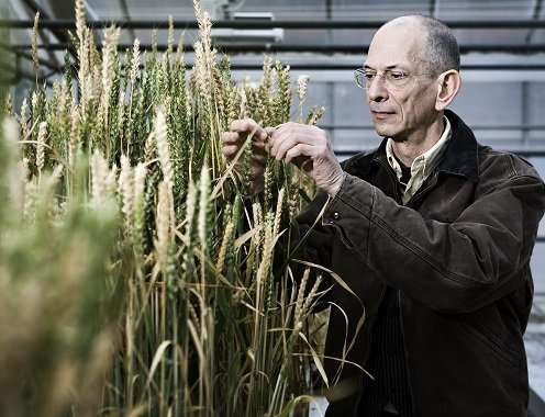 Evolutionary crop research: Ego-plants give lower yield