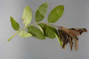 Researchers uncover the origins of ash tree dieback and set out ways to fight it
