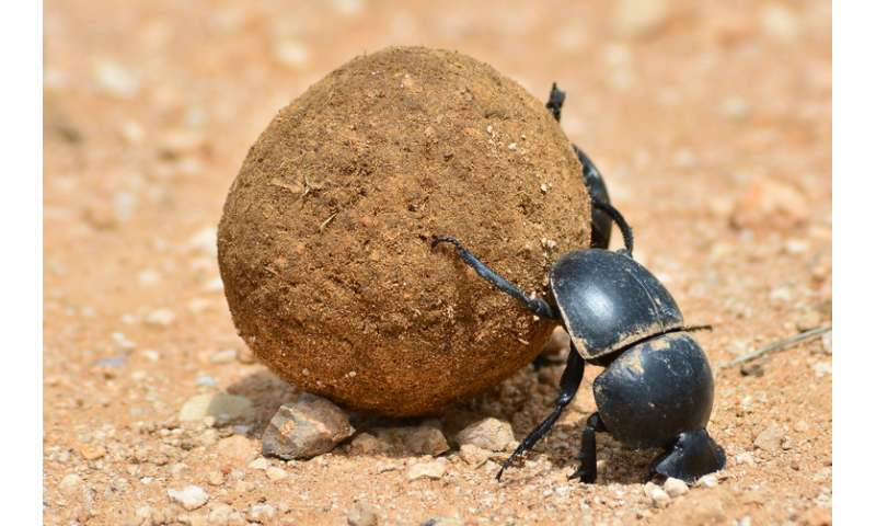 Scientists have worked out how dung beetles use the Milky Way to hold their course
