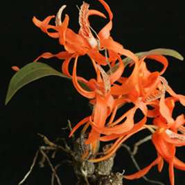 Researchers shine a spotlight on illegal wild orchid trade