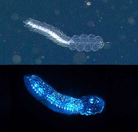 New study shows that three quarters of deep-sea animals make their own light