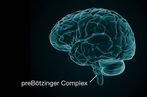 Searching for the brain cells that control our breathing