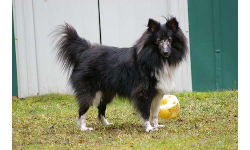 Understanding Images: A Canine Model of Juvenile Dermatomyositis