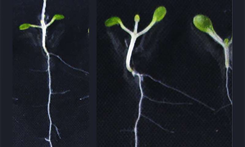 Researchers find mechanism by which plant roots avoid oxygen-deficient soil