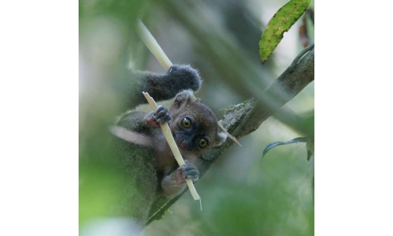 Climate change may slowly starve bamboo lemurs