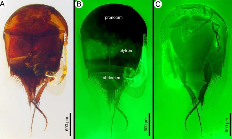 99-million-year-old termite-loving thieves caught in Burmese amber