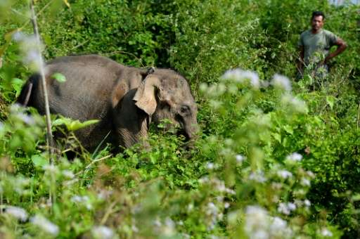 A baby elephant found last week next to a dead elephant without its tusk is being nursed back to health in an Indonesian conserv