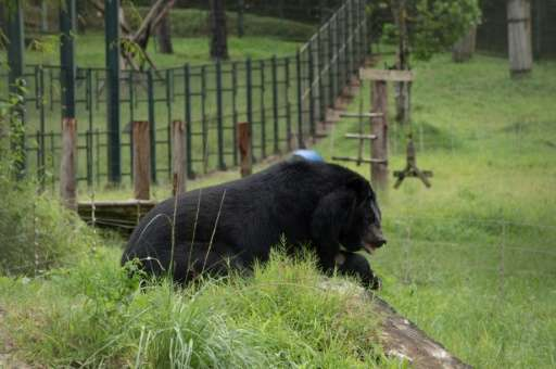 A blind moon bear rests at the Vietnam Bear Rescue Centre near Tam Dao National Park in Vinh Phuc province, north of Hanoi