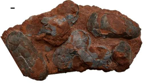A clutch of oviraptor dinosaur eggs from the Upper Cretaceous period—some 100 to 66 million years ago—found in China