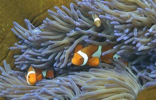 A coral transplanting technique being trialled on the Great Barrier Reef offers hope that damaged ecosystems could be restored,