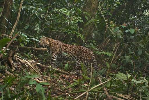 A critically endangered Javan leopard photographed on October 24, 2012 by a camera trap installed in the forest of Mount Halimun