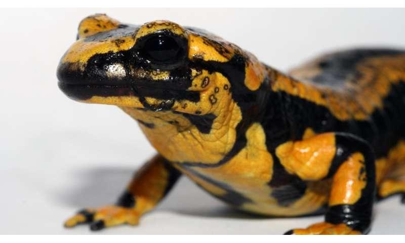 Action required: Invasive fungus is killing European salamanders