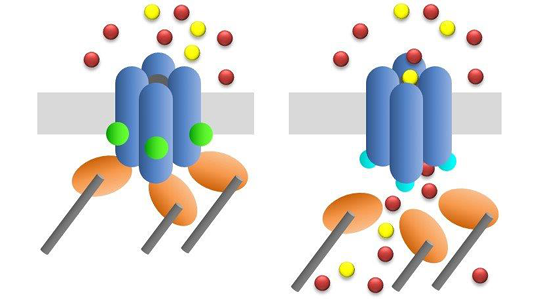 Adaptor proteins control ion channel gating mechanism
