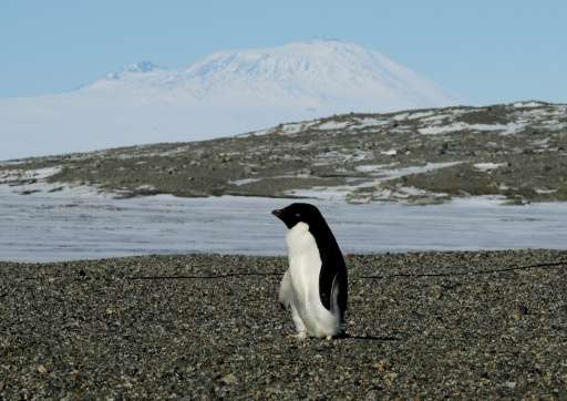 Adelie penguins, slick and efficient swimmers, live on the Antarctic continent and on many small, surrounding coastal islands