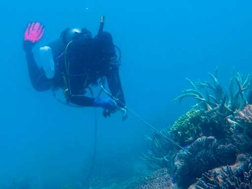 A diver injects a crown-of-thorns starfish with vinegar on the Great Barrier Reef in the hopes of culling the predatory pest, wh