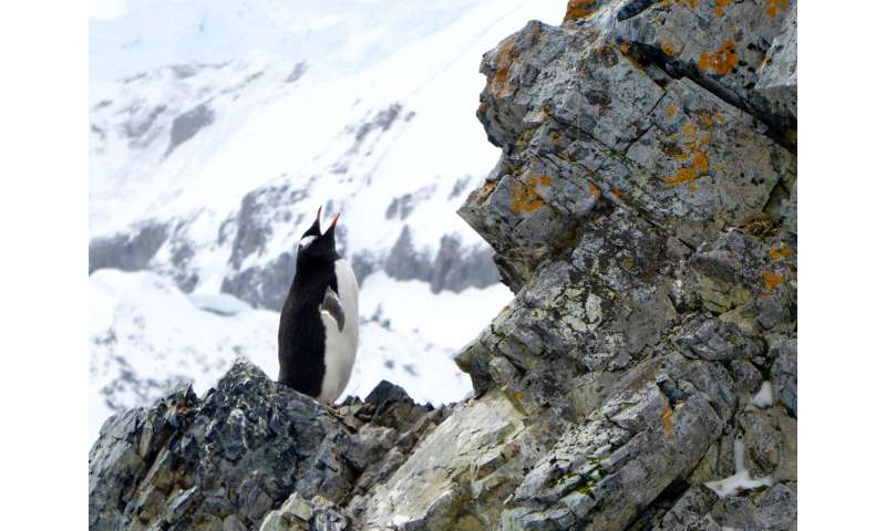 A first look at geographic variation in Gentoo penguin calls