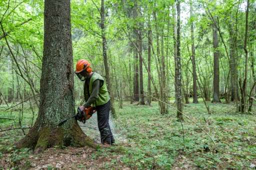 A forest worker cuts down a spruce attacked by woodworm in Bialowieza forest