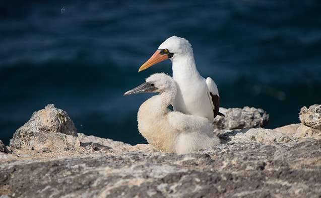 A Galapagos seabird's population expected to shrink with ocean warming