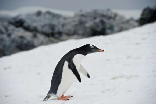 A Gentoo penguin waddling around Orne Harbour in the western Antarctic peninsula, one of a number of species that makes its home