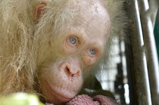 Albino orangutans are rare on Borneo island, where most have reddish-brown hair